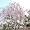 北野天満宮の桜、庭園で観賞!