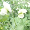 13 桜 中唐 劉禹錫の春の詩