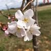 ケンタッキー州も桜が開花! 植樹したばかりのアケボノとヨシノの競演です。