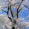 富山特派員だより「春の呉羽山」