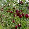 紅玉の収穫はじめました。