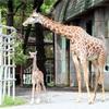 キリンの赤ちゃん公開 休園中の熊本市動植物園で誕生