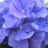 紫陽花いろのもののふるなり