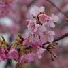 木場潟公園南園地の河津桜