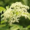 豊富なフラボノイドで風邪、花粉症対策☆「インフルエンザの特効薬」 エルダーフラワー