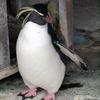 イワトビペンギンは何種類?