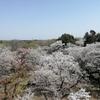 過去最高の桜 六道山公園(東京都西多摩郡瑞穂町)