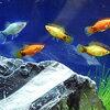 ミッキーマウスの柄がある熱帯魚ミッキーマウスプラティ!番組マツコの知らない世界で紹介。
