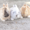 4月10日は「月のうさぎの日」~ウサギの速さは?(*´▽`*)~