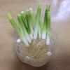 【プチ家庭菜園】万能ねぎの「いつもなら捨てちゃう」部分から再生野菜に挑戦開始!