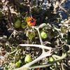 マンマミーア(ミニトマト)畝の片付け