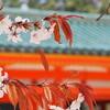 京都の春!平安神宮