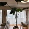 「下半期」に目指すは、わが家のリビングで堂々と伸びているオーガスタ!〔わが家の特大ストレリチア オーガスタをお見せします!〕