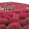 モコモコのコキアで赤く染まる絶景-ひたち海浜公園