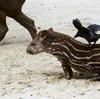 ブラジルバク Tapirus terrestris