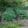 連休最後に家庭菜園の様子を見てみる。