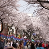 済州島(チェジュ島)春のおすすめスポット #桜の名所をまとめてお届け!