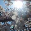 広島、桜の風景
