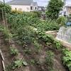 中山モダンハウスで家庭菜園(春~初夏編・2019/4/20-6/30)