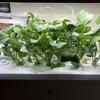 水耕栽培でルッコラを育てる