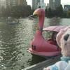 ピンクのアヒルちゃんボート♪上野公園♪不忍池♪