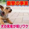 初めて知った!犬の新事実。~何故コーギーもトイプードルも尻尾を切るのか???