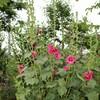 「佐久の季節便り」、「タチアオイ(立葵)」の花、梅雨空に咲き登り…。