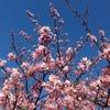 2016の初桜