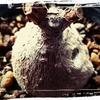 塊根植物♪ミラビリス