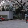 473  2人の桜