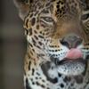 ジャガー Panthera onca
