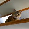 4月前半の #ねこ #cat #猫 どらやきちゃんB