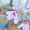 大小の春、桜の花は今がさかり