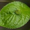葉の真ん中で花が咲く:ハナイカダ