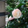 高崎駅前通り散歩 今朝は19℃・これ何?・椿・店先のコスモス
