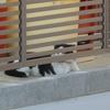 去勢済み猫ダイちゃん、オス猫とケンカする。