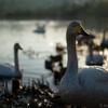 【渡り鳥に大人気の越冬地】早朝に電車で伊豆沼へ行ってみた【白鳥&マガン】