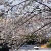 桜クエスト3(横浜元町)