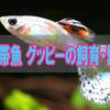 熱帯魚 グッピーは簡単に飼育・繁殖できます