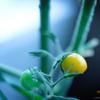 色づくミニトマト。