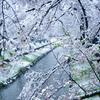 【雑談】季節外れの雪ー東京都内では32年ぶり 3月下旬の積雪ー