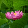 Nikon Z 50で上野、不忍池 蓮の花をエフェクト撮影しました😙