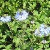 畑のハーブの花と昆虫