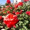 薔薇のまち