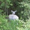 【世にも珍しい白い鹿】Seneca White Deerを見に行く