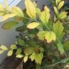 ブルーベリー 葉が茶色く
