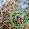孵化したカブトムシの幼虫 その後の報告です…10月17日