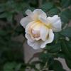 11月の庭のバラと寒肥の予習