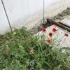 ひっなげしの花