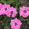 ピンクのバーベナ